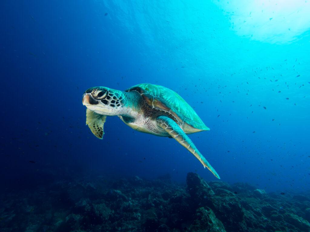 Grüne Meeeresschildkröte im Roten Meer