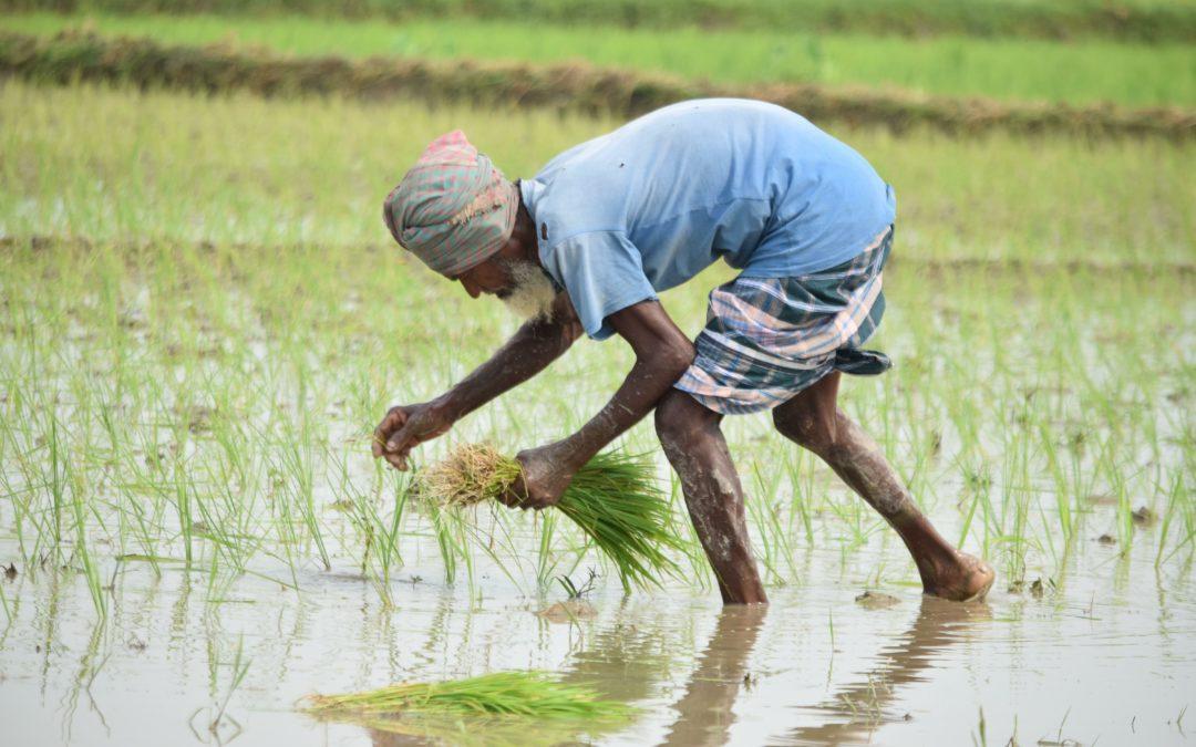 Mehr Reis für mehr Menschen
